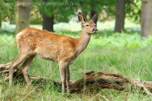 A young deer by javierherrera86