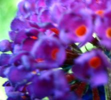 Butterfly Bush 3 by Holly6669666