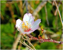 Almonds are flowering early by ShlomitMessica