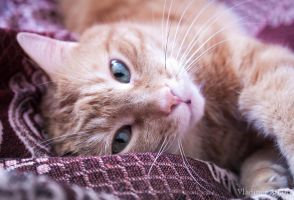 Another photo of the Red cat_14 by Eevl