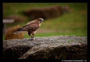 Falcon by TVD-Photography
