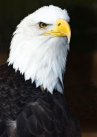 Bald Eagle by newfish