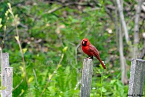 Northern Cardinal by David-A-Wagner