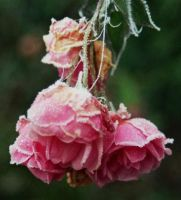Frosted Rose by EarthHart