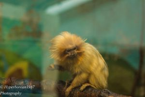 Golden Tamarin by Hyperborean1987