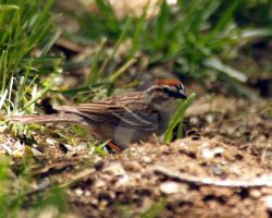 Chipping Sparrow 15 by GhostInThePines
