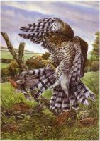 Sparrowhawk and Prey by froodi