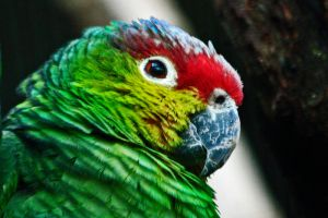 Amazon Lilacine Parrot by Tinap