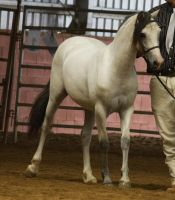 STOCK - 2014 Welsh QLD Show-41 by fillyrox