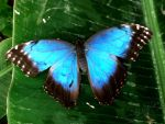 Blue Butterfly by DinofelizC