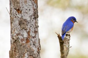 Eastern Bluebird by ribbonworm