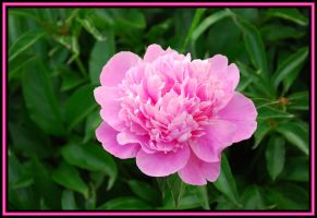 Pink Peony by TThealer56
