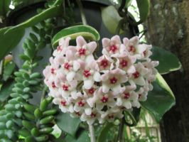 Hoya blooms first time by Sorath-Rising