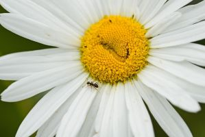Daisy and The Ant by duncan-blues