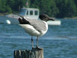 Laughing Gull on Piling by SlateGray