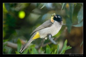 Bulbul showing off lunch by RoieG