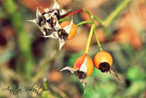 Rosa canina by Rouge07