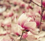 Magnificent Magnolia by SharingMyDreams