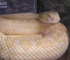 Albino Diamondback Rattlesnake by TalkStock