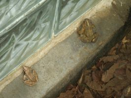 Frog and Toad Together by SacredJourneyDesigns