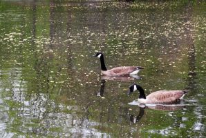 Canadian geese by LucieG-Stock