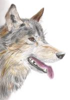 Wolf Headshot by Vanished-shadow