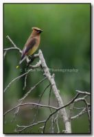 Cedar Waxwing 001 by LoneWolfPhotography