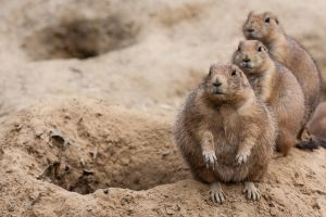 Prairie dogs by MacGeizer