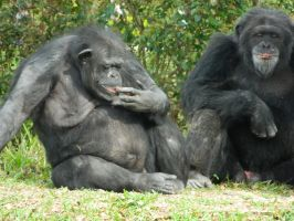 Chimpanzee's by MissMachineArt