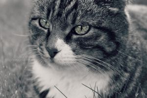Cat VI by sisselPhotography