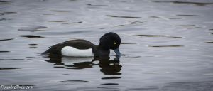 tufted duck having a drink. by chivt800