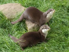 Asian Short Clawed Otter Pair by LottyTheCat