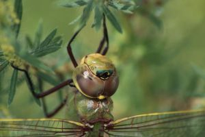 Common Green Darner by myekeh