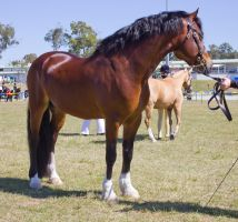 STOCK - Gold Coast show 277 by fillyrox