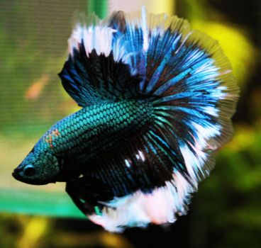 Old Happy, Turquoise Dragon HM Betta Male by HappyBettas