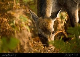 young Sika Deer by JakeSpain