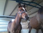 bay foal - STOCK by horse-art-here
