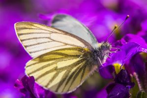 White butterfly in Violet by lueap