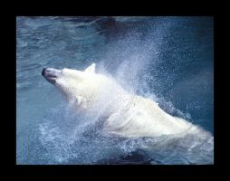 Polar Bear swimming by little-gold-fish