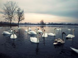a lot of swans by TinaaKc