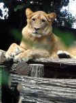 Lioness by Cansounofargentina
