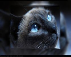 Close up cats blue eyes by Cherie2