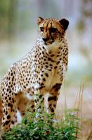 Cheetah 17 by Art-Photo