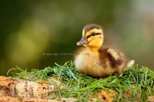 little wild duck ''Ida'' by Partridge-PetPics
