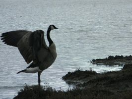 Goose by AngelSaphireBlue
