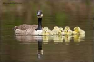 Canada Goose family by gregster09