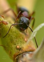 Ant-Tending Aphids by JestePhotography