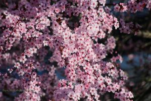 More Cherry Blossoms by lupagreenwolf