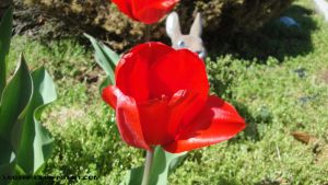 Red Tulip by Lootra
