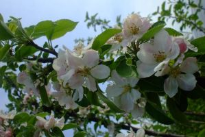 Apple blossoms by EruwaedhielElleth